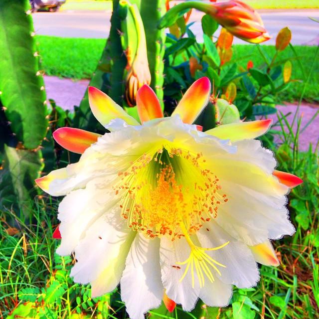 Cactus Flower Bloom